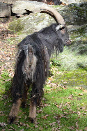 billy: A majestic billy goat with long fur
