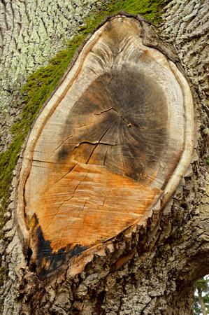 crosscut: Cross-cut of a big tree branch Stock Photo