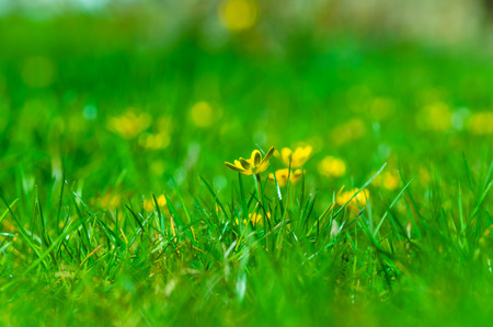 Yellow buttercups (Ranunculus acris) lost in the green grass. photo