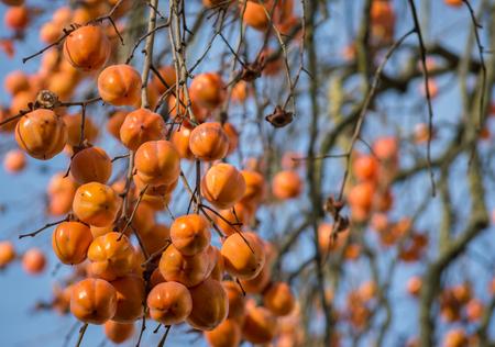 diospyros: Branches of Persimmon Diospyros kaki tree full of fruit Stock Photo