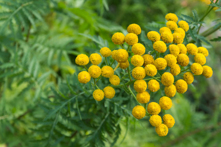 vulgare: Tansy, Tanacetum vulgare in flower, seen from above.