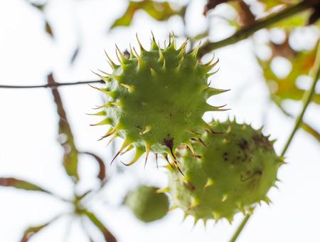 말 - 밤 과일 (Aesculus hippocastanum)