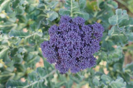 Purple broccoli on a plant