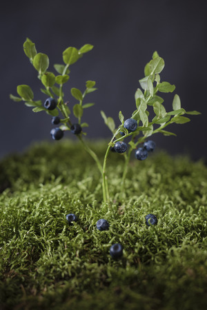 Blueberries on bushes of berries in moss surroundings Zdjęcie Seryjne