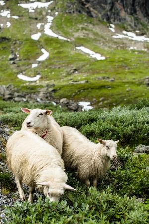 Ewe sheep grazing on pasture in mountain.
