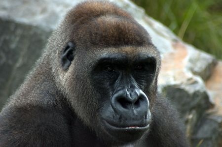 intimidating: Gorilla portrait Stock Photo