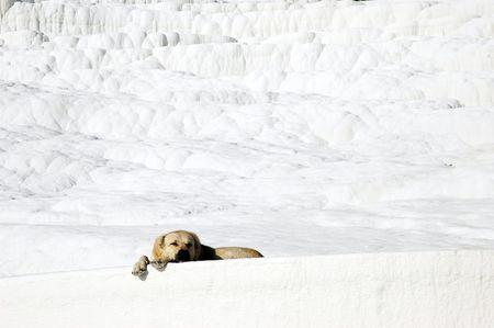 White dog, Pamukkale photo