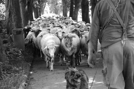 Sheep guided by dog and shepherd photo
