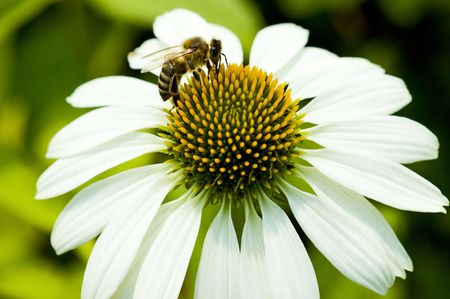 Close up of camomile and bee photo