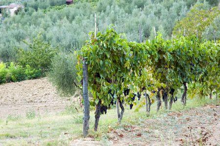 Vineyards rural view - Tuscany, Italy