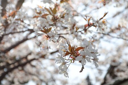 Cheery Blossom is blooming in Osaka, Japan