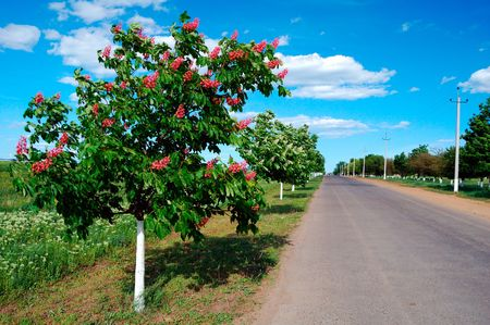 chestnut tree: beautiful young chestnut tree with an unusual red color
