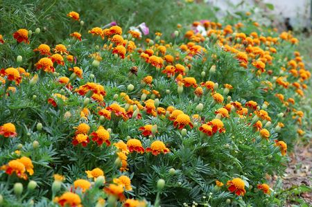 counted: Marigolds are grassy plants. In nature them about 50 kinds are counted. There are they from Central and Sonth America.