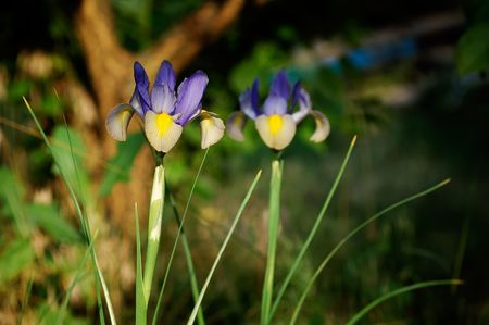 lasted: Iris was the symbol of royal house of Bourbons (the despotic rule of which above France and Spain lasted more than 200 years) Stock Photo