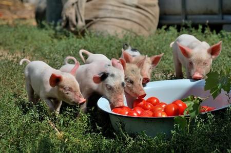 kleine Ferkel auf einer Farm im Sommer