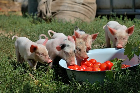 little piglets on a farm in summer photo