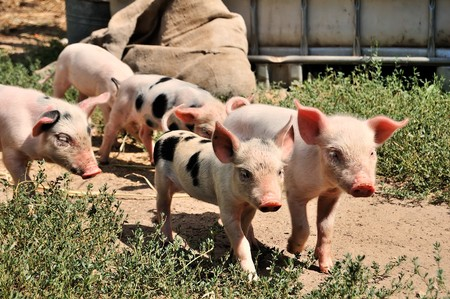 piglets: little piglets on a farm in summer Stock Photo