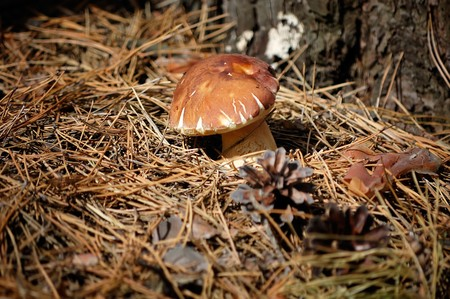 CEP (Boletus edulis) by CU in the autumn coniferous forest photo