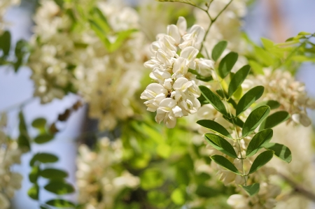 Branch of white acacia flowers on the tree photo