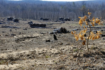 glade: Empty forest glade after fire and cutting of pine trees Stock Photo