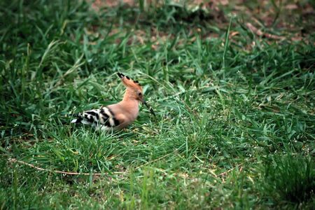 Hoopoe is a small brightly colored bird with a long narrow beak and a crest