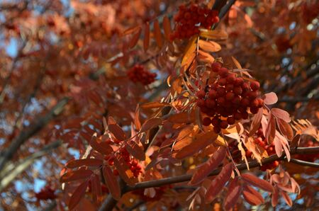 Rowan berries on a twig in the autumn forest.Fruit for jam, tea and tinctures. Red orange background.