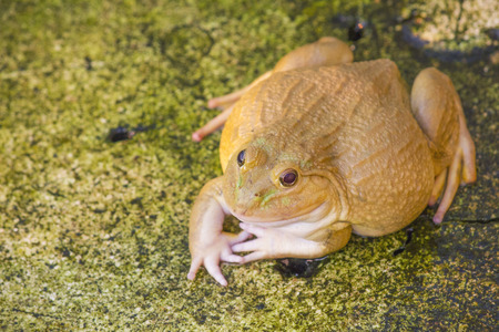 albino Frog , also known as the Common Water Frog , sits on wood. Edible frogs are hybrids of pool frogs and marsh frogs.