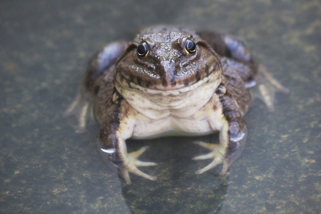 natural selection: A green edible frog, also known as the Common Water Frog , sits on wood. Edible frogs are hybrids of pool frogs and marsh frogs. Stock Photo
