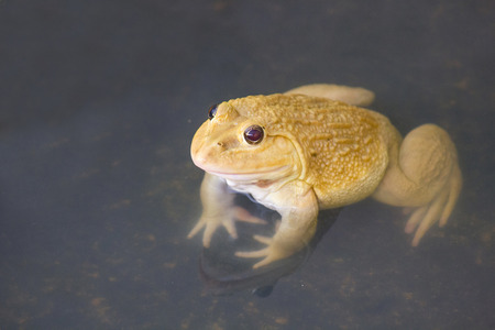 wart: , also known as the Common Water Frog , sits on wood. Edible frogs are hybrids of pool frogs and marsh frogs.