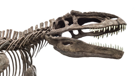 dinosaur skeleton, tyrannosaurus rex isolated on white background