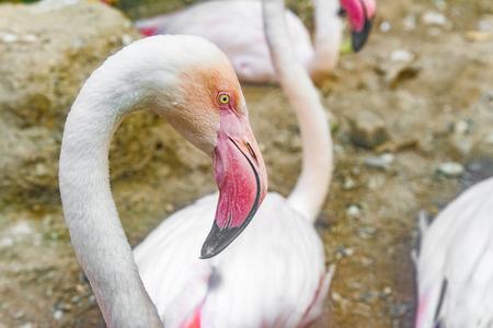 flamenco ave: blanco flamenco p�jaro, vista de cerca