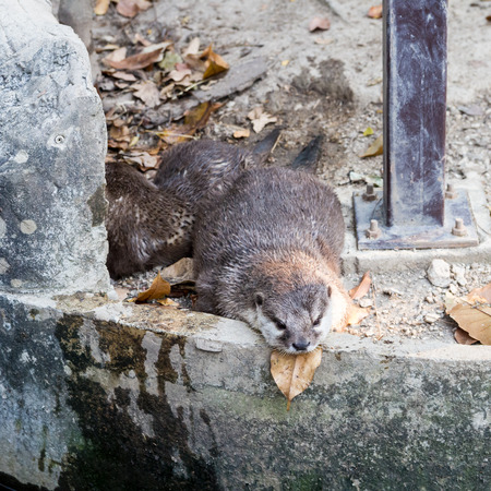 clawed: asian oriental small clawed otter