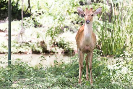 portrait image Deer in Nakhon Ratchasima Zoo Stock Photo