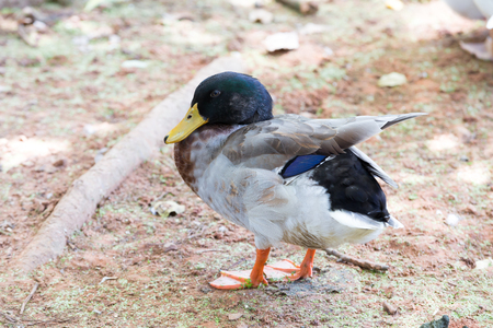Pictures Duck animals Travel with family on holiday