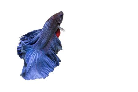 dragon swim: closeup background animal  aquarium fighting betta fish,Blue color Stock Photo