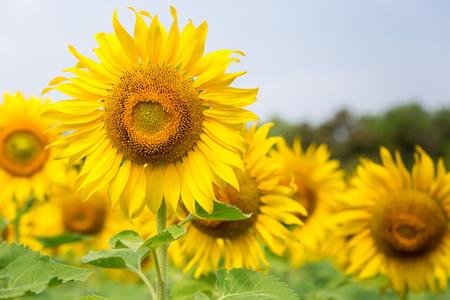 Beautiful Sunflowers garden natural background. Summer landscape. Banque d'images