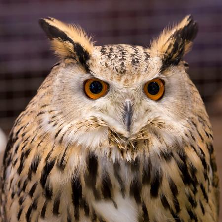 Animal closeup show face bird eagle owl