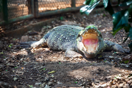 Big freshwater crocodiles open mouth in zoo