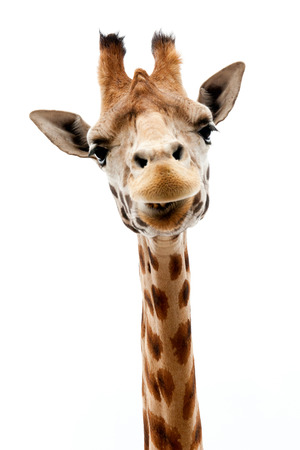 Funny giraffe s face isolated  photo