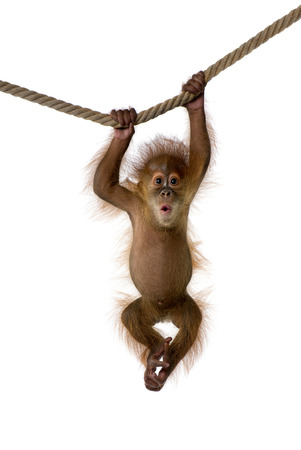 Orangutan hanging photo