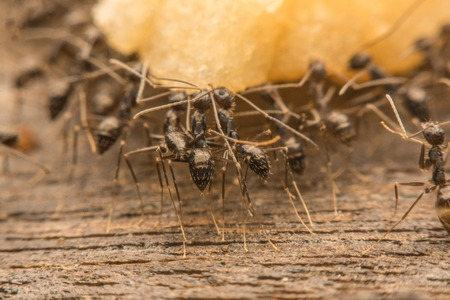 spoiling: Black ants are spoiling food.