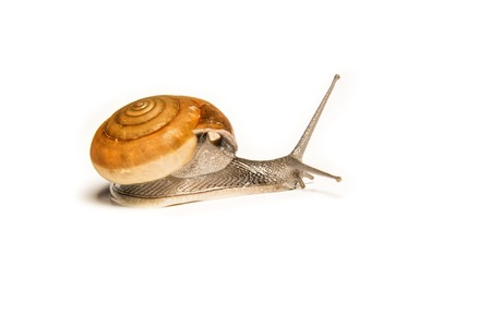 the close range: Snail isolated on white, shooting animals at close range. Stock Photo
