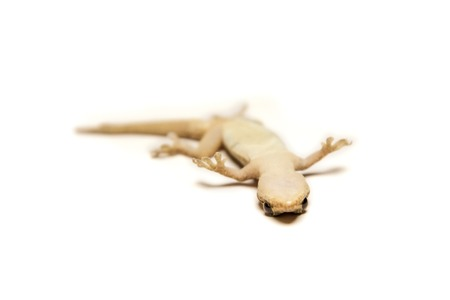tokay gecko: Close up, the house lizard, Thailand.