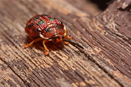 Close up photos of colorful ladybugs (Coccinellidae) on wood background