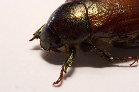 Insect beetle or primitive beetle on smooth background. 版權商用圖片