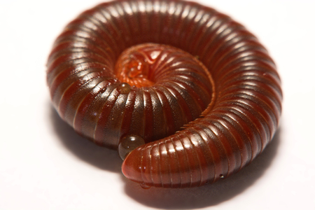 Macro photo of red millipede on smooth background