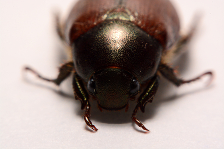 Insect beetle or primitive beetle on smooth background. Stock Photo