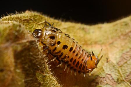 net: Larvae, ladybug on leaf Stock Photo