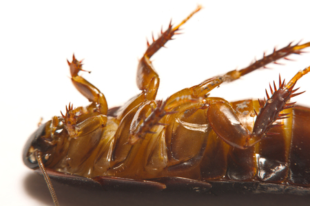 revolting: Australian giant burrowing cockroach on white background