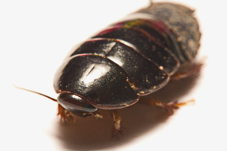 Australian giant burrowing cockroach on white background